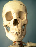 Feche acima de Protrait do crânio humano Imagem de Stock Royalty Free