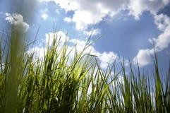 Feche acima de, sob a opinião a grama nova fresca do crescimento, olhando através da grama, raios da manhã do sol, contra o conce imagem de stock