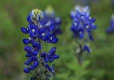 Feche acima de Texas Wildflower fotos de stock royalty free