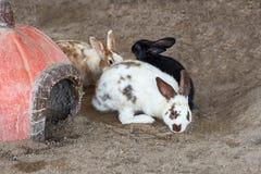 Feche acima de três coelhos Fotos de Stock Royalty Free