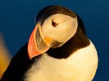 Feche acima de um único papagaio-do-mar em um penhasco Fotos de Stock Royalty Free