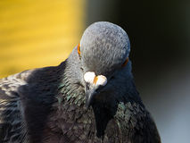Feche acima de um único pombo Fotografia de Stock