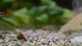Feche acima de um aquário doméstico completamente de peixes novos A maioria deles é guppies, algumas fêmeas é néons e GR grávidos filme