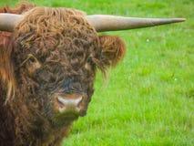Feche acima de um búfalo Fotografia de Stock Royalty Free