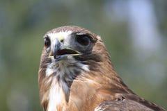 Feche acima de um Brown Eagle Imagens de Stock Royalty Free