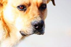 Feche acima de um cão amarelo bonito Imagem de Stock Royalty Free