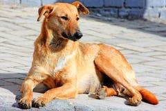 Feche acima de um cão amarelo bonito Fotografia de Stock Royalty Free