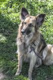 Feche acima de um cão-pastor que senta-se perto de um prado imagem de stock royalty free