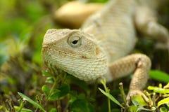 Feche acima de um camaleão do lagarto imagens de stock