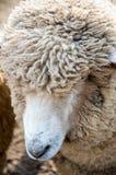 Feche acima de um carneiro Imagem de Stock