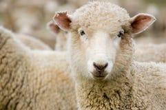 Feche acima de um carneiro de Merino Fotografia de Stock