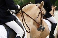 Feche acima de um cavalo do fiorde em um evento do adestramento fotos de stock royalty free