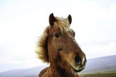 Feche acima de um cavalo marrom Foto de Stock Royalty Free