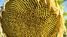 Feche acima de um começo do girassol para mostrar as sementes foto de stock