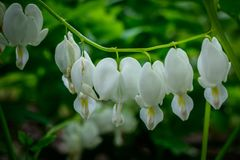 Feche acima de um coração de sangramento branco Snowdrop imagem de stock royalty free