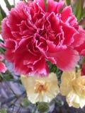 Feche acima de um cravo cor-de-rosa Imagens de Stock Royalty Free