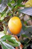 Feche acima de um crescimento de fruto amarelo da flor da paixão no arbusto cercado pela licença verde fotos de stock