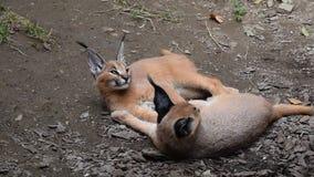 Feche acima de um descanso caracal de dois gatinhos do bebê vídeos de arquivo