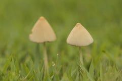 Feche acima de um detalhe de dois cogumelos brancos pequenos na grama verde Foto de Stock Royalty Free