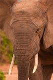 Feche acima de um elefante masculino fotos de stock royalty free