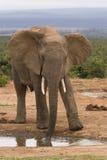 Feche acima de um elefante masculino imagem de stock royalty free