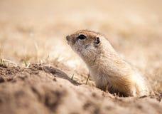 Feche acima de um esquilo à terra Fotos de Stock Royalty Free