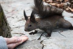 Feche acima de um esquilo marrom amigável perto de uma mão imagem de stock royalty free