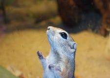 Feche acima de um esquilo salvado que perca a peça de seus membros imagens de stock royalty free