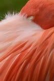 Feche acima de um flamingo cor-de-rosa Imagens de Stock