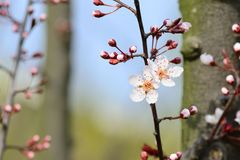 Feche acima de um flowe da flor da ameixa Imagem de Stock Royalty Free