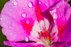 Feche acima de um gerânio branco e cor-de-rosa foto de stock royalty free