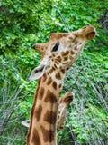 Feche acima de um girafa novo no jardim zoológico fotografia de stock