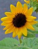 Feche acima de um girassol amarelo Foto de Stock