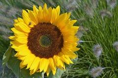 Feche acima de um girassol amarelo grande na luz do sol no campo de flor Imagens de Stock