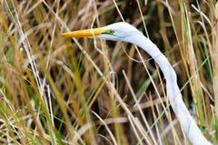 Feche acima de um grande Egret necked longo branco imagens de stock