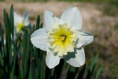 Feche acima de um grande narciso amarelo de florescência Foto de Stock Royalty Free