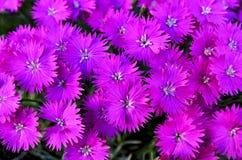 Feche acima de um grupo de flores fúcsia brilhantes do áster Fotografia de Stock