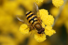 Feche acima de um Hoverfly em uma flor amarela Fotos de Stock