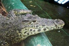 Feche acima de um jacaré preto do caimão que encontra-se em uma rocha perto da água em uma atração dos visitantes foto de stock royalty free