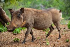 Feche acima de um javali africano africano selvagem Fotos de Stock Royalty Free