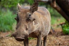Feche acima de um javali africano africano selvagem Imagens de Stock Royalty Free