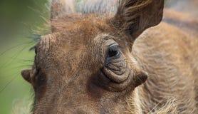 Feche acima de um javali africano africano selvagem Fotografia de Stock Royalty Free