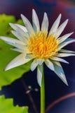 Feche acima de um lírio de água branca bonito com pólen amarelo Fotografia de Stock Royalty Free