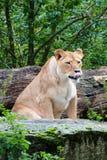 Feche acima de um leão fêmea Imagens de Stock Royalty Free