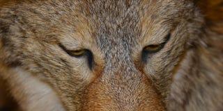 Feche acima de um lobo no selvagem imagens de stock royalty free