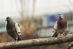 Feche acima de um marrom e de um pombo cinzento que estão em um ramo de árvore em Cheonggyecheon, Seoul, olhando fixamente no fot imagens de stock
