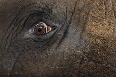 Feche acima de um olho de elefante africano Fotos de Stock Royalty Free