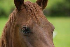 Feche acima de um olho dos cavalos de Brown da castanha fotografia de stock royalty free