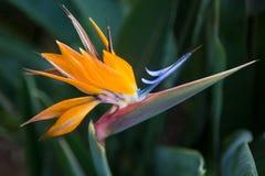 Feche acima de um pássaro exótico da flor de paraíso Fotografia de Stock