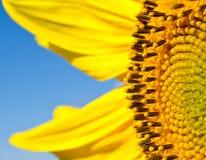 Feche acima de um pólen do girassol Foto de Stock
